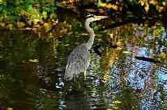 Camping La Romiguiere : Heron
