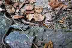 Camping La Romiguiere : Orvet